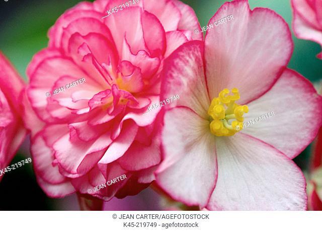 Begonias (Begonia tuberosa)
