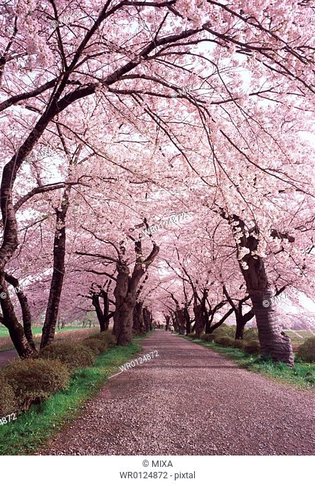 Cherry trees in a row