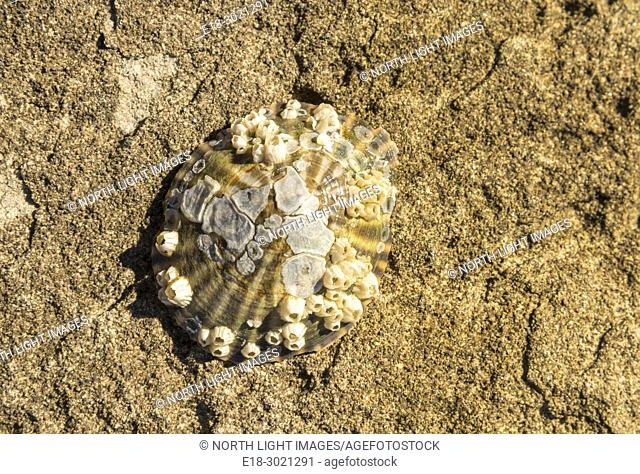 Canada, BC, Denman Island, Ford Cove. A single tiny limpet shell attached to the sandstone shore. Exposed during high tide