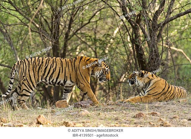 Two Bengal or Indian Tigers (Panthera tigris tigris), subadult, Ranthambhore National Park, Rajasthan, India