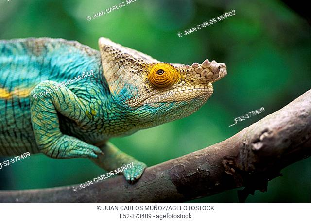 Chameleon (Calumma parsonii)