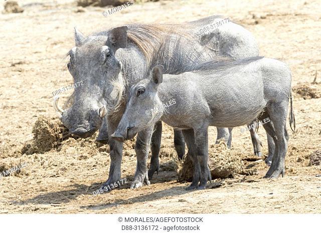 Africa, Southern Africa, Bostwana, Savuti National Park, Warthog (Phacochoerus africanus), female adult with babies