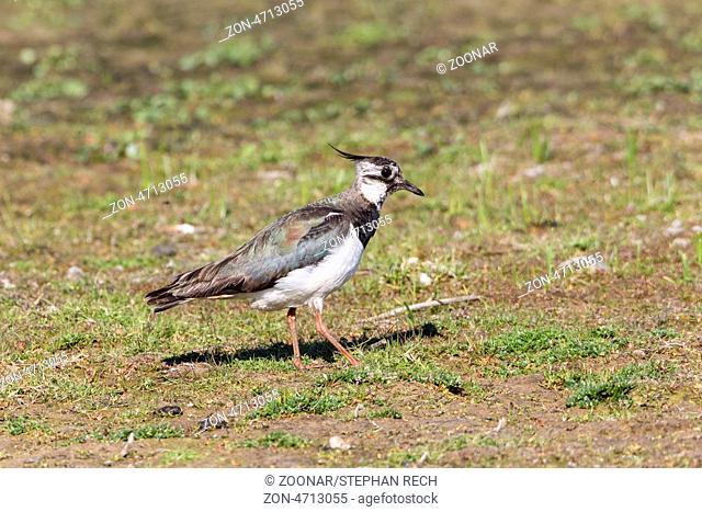 Kiebitz (Vanellus vanellus)-Lapwing (Vanellus vanellus)