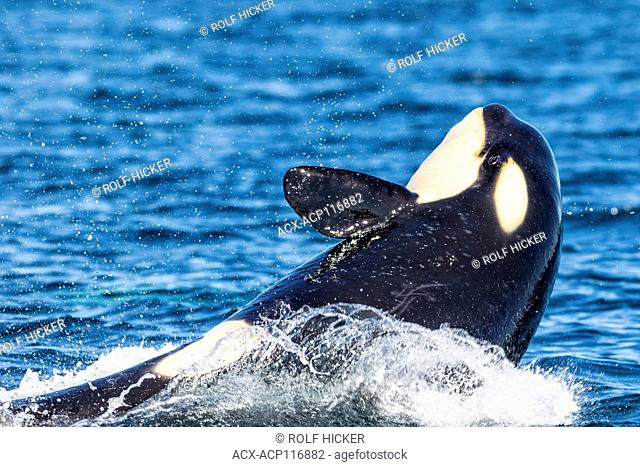 Northern resident killer whale breaching with open eye in front of Swanson Island off Northern Vancouver Island, British Columbia, Canada