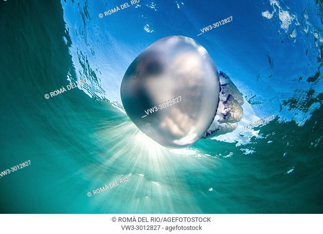 barrel jellyfish (Rhizostoma pulmo) in Coma-ruga, Costa Daurada, Catalonia