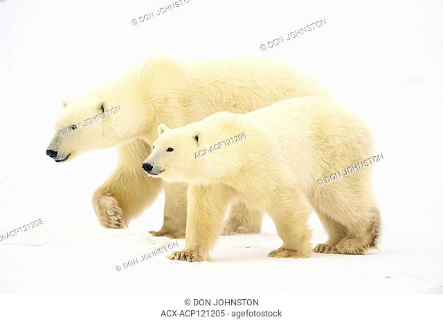Polar Bear (Ursus maritimus) Yearling cubs with mother close by