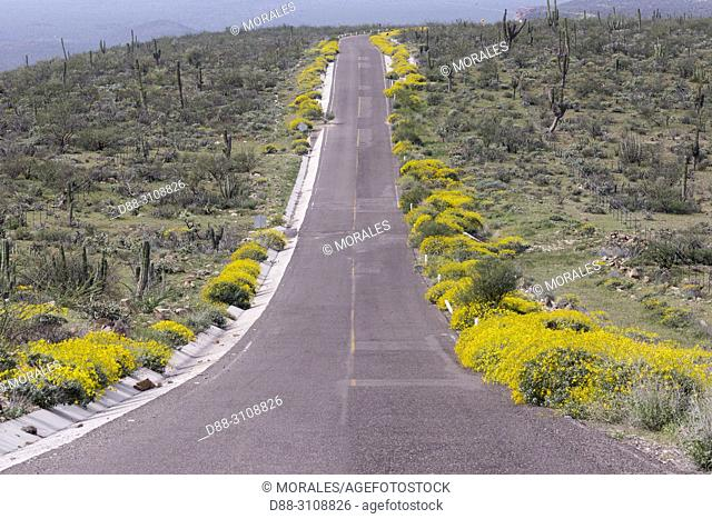 Central America, Mexico, Baja California Sur, Guerrero Negro, Road through the desert in bloom after a rain