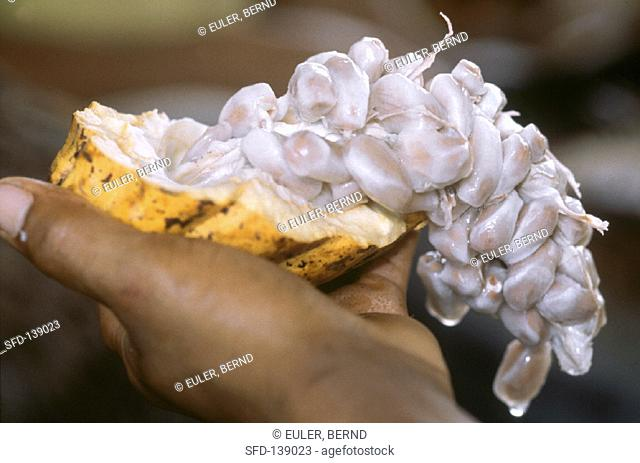 Hand Holding Cocoa Fruit with Cocoa Beans