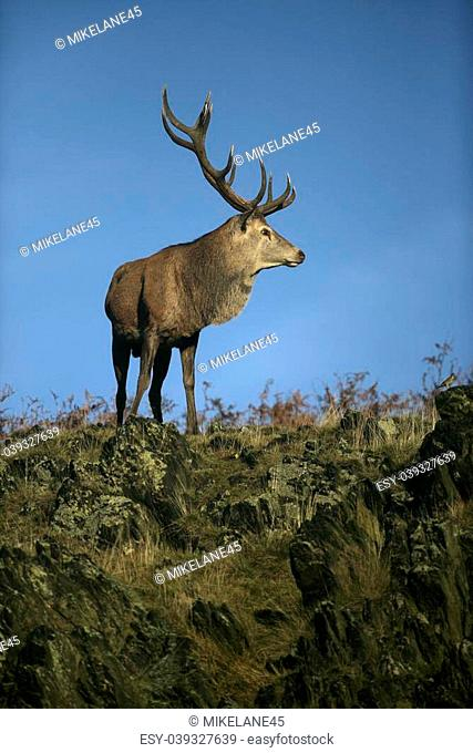 Red deer, Cervus elaphus, single male on grass, Bradgate Park, Leicestershire