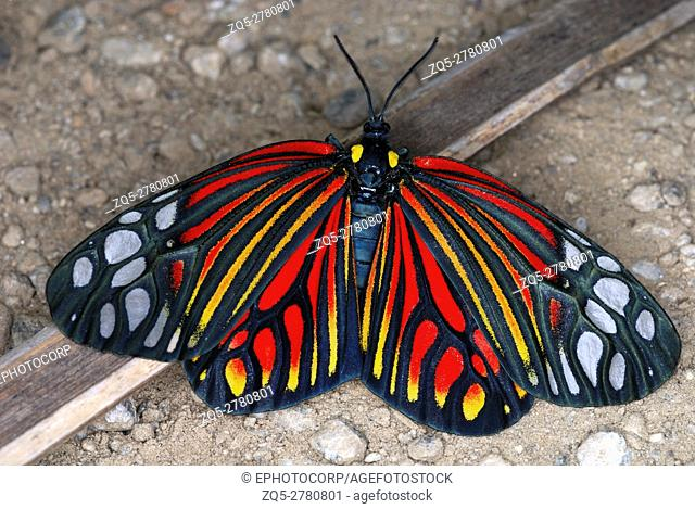 Harlequin Moth. A rare and colourful day flying Moth spotted only a handful of times. Arunachal Pradesh. India