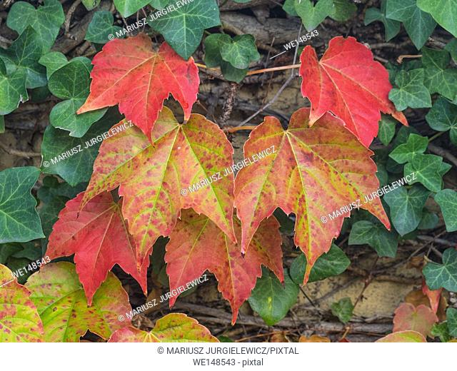 Colorful Grape Ivy climbing on a wall in autumn