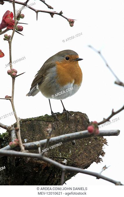 BIRD. Robin in snow, garden