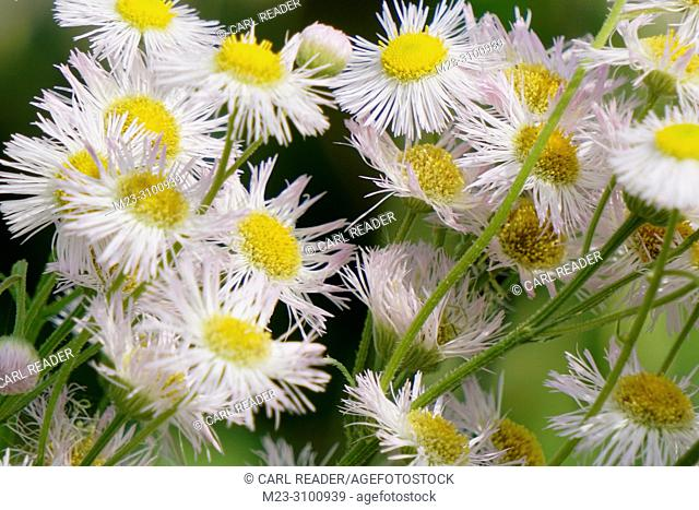 Closeup of a cluster of fleabane, Pennsylvania, USA