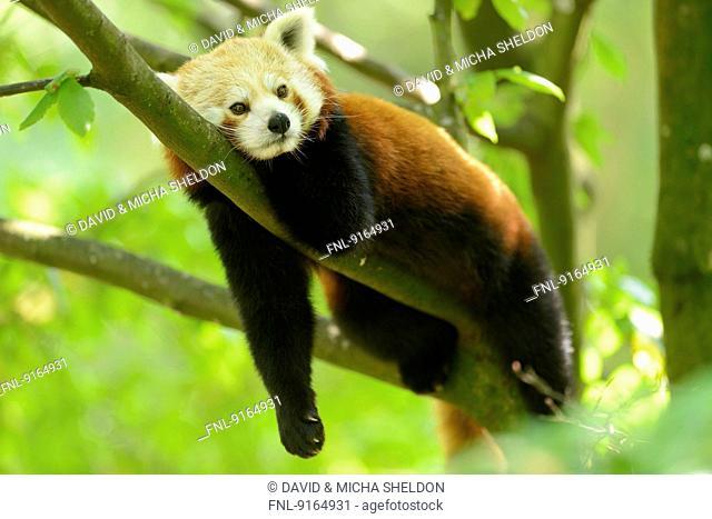 Red panda lying on a branch