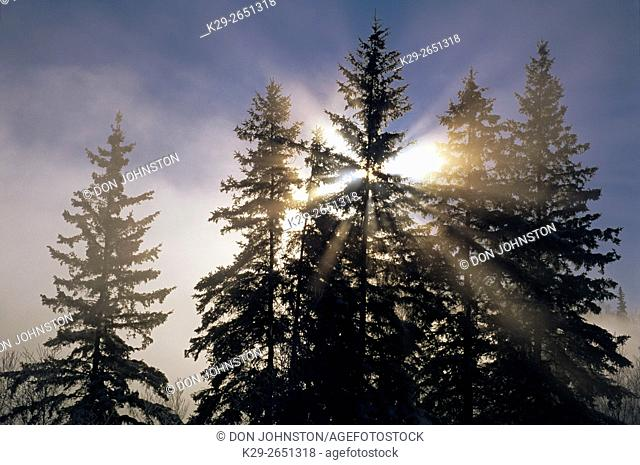 Frosted spruces with sunstar and morning mists near open water, Greater Sudbury, Ontario, Canada