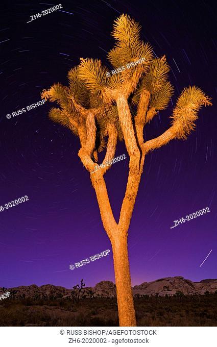 Joshua tree and star trails at night, Joshua Tree National Park, California
