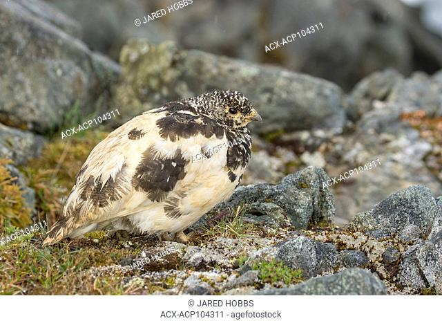 White-tailed Ptarmigan, Lagopus leucura, Alaska, Tundra, USA