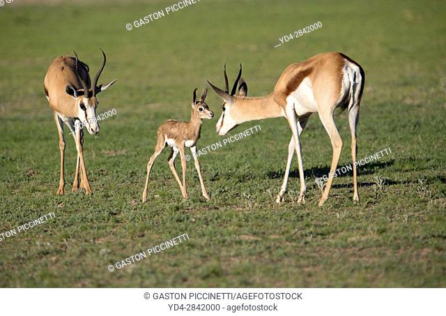 Springboks (Antidorcas marsupialis), Kgalagadi Transfrontier Park in rainy season, Kalhari Desert, South Africa/Botswana