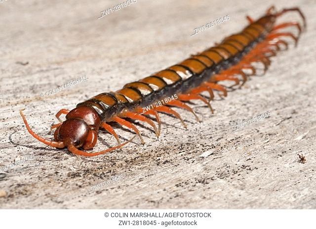 Chinese Red Head Centipede aka Giant Centipede, Jungle Centipede, Orange Legged Centipede, Red Headed Centipede, Vietnamese Centipede (Scolopendra subspinipes)