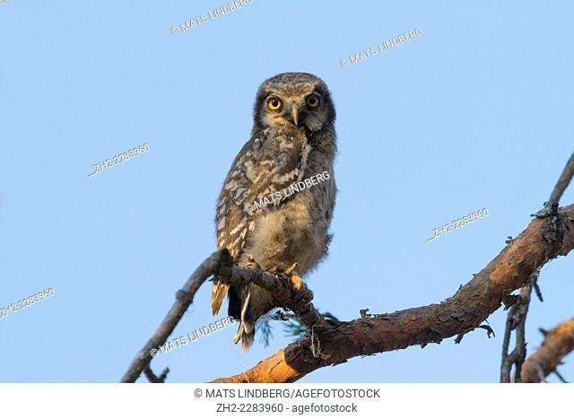 Northern hawk-owl, Surnia ulula, sitting in a pine tree, Gällivare, Swedish lapland