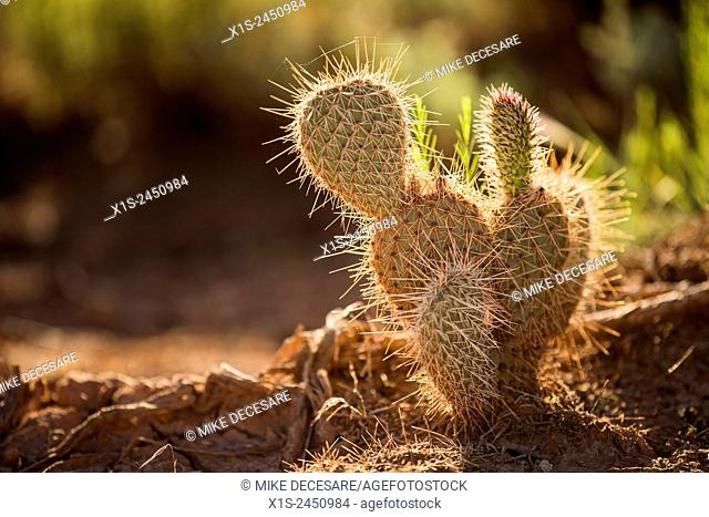 Beautiful desert cactus plant is illuminated with early morning light