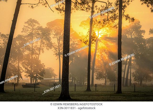 Early morning sun radiates out from behind a line of tall trees illuminated the foggy field in front of them , Tifton, Georgia. USA