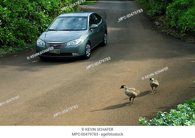 Nene (Branta sandvicensis) pair crossing road, Kilauea Lighthouse, Kauai, Hawaii