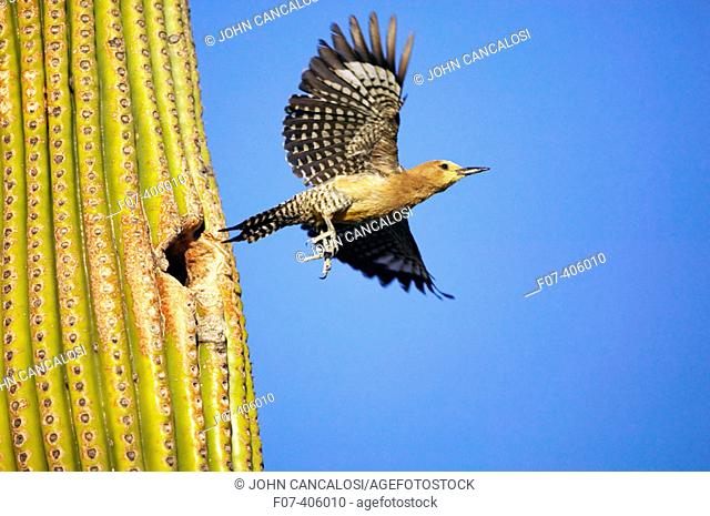 Gila Woodpecker (Melanerpes uropygialis). Feeds on nectar and insects in the Saguaro cactus blossom, helps pollinate cactus