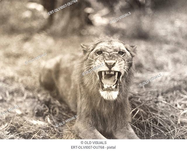 Lion's roar (OLVI007-OU768-F)