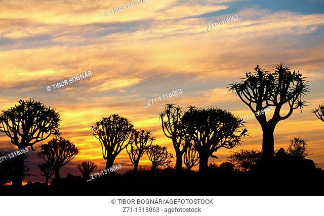 Namibia, Keetmanshoop, Quiver trees, sunset
