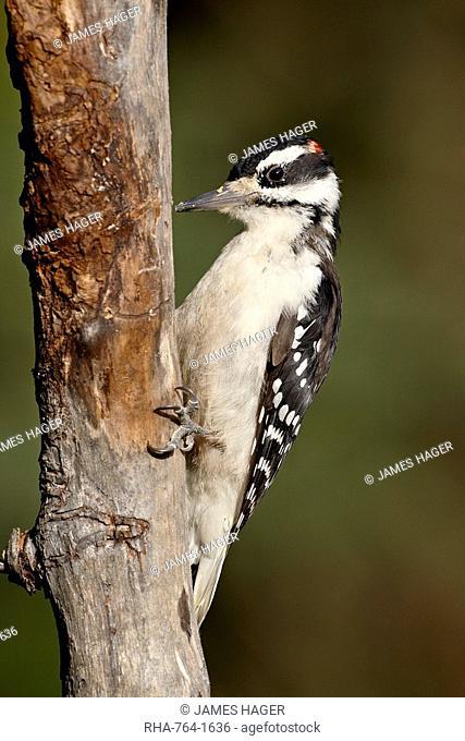 Male hairy woodpecker Picoides villosus, Wasilla, Alaska, United States of America, North America