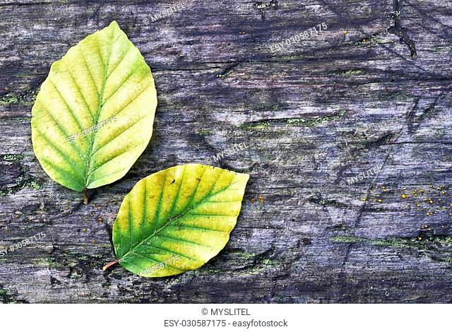 Two autumn beech leaves on old wood