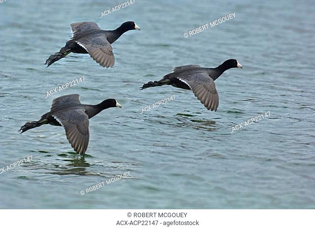Three Coot Ducks flying in for a landing on a lake in Jasper National Park