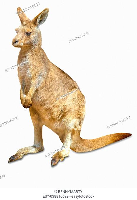 Red australian kangaroo, Macropus rufus, in front and isolated on white background