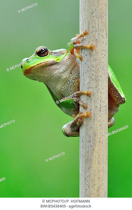 European treefrog, common treefrog, Central European treefrog (Hyla arborea), sittin in reed, Germany