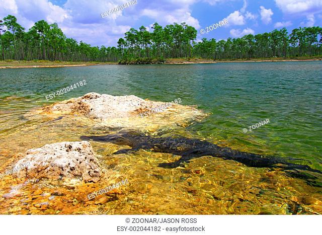 American Alligator Alligator mississippiensis