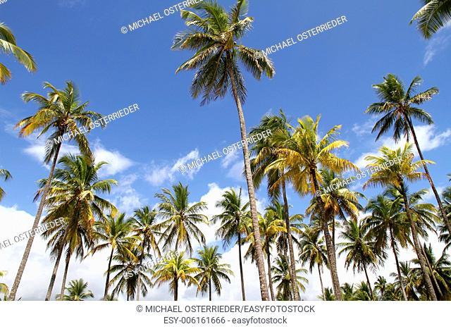 Palm Trees and a beautiful blue sky. Photo taken in Bahia, Brazil, South america