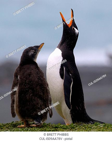 Gentoo penguin and chick, Macquarie Island, Southern Ocean