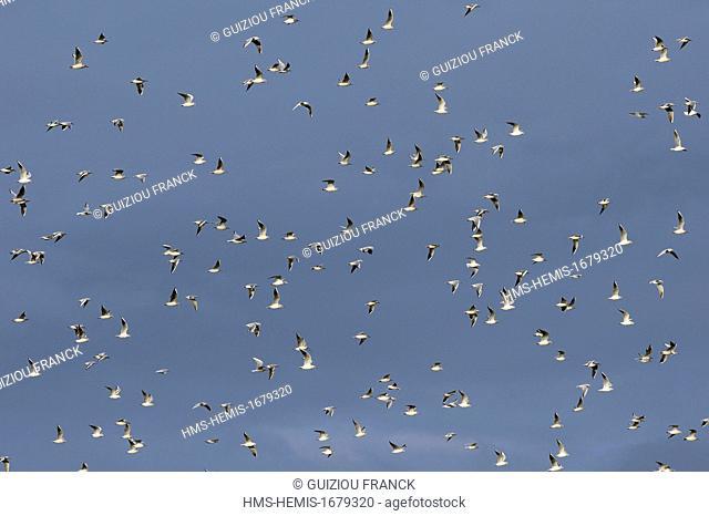 France, Haute Marne (52), the artificial lake Der-Chantecoq or Marne reservoir lake (often called Lac du Der), flying seagulls