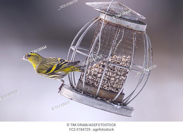 A Eurasian Siskin (Carduelis spinus) adult male feeding in freezing conditions in a Norfolk garden