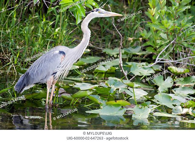 A tram tour at the Shark Valley Visitor Center of the Everglades National Park in Florida takes visitors past countless blue herons