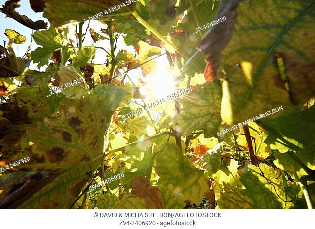 The sun coming thgrough vine leaves on a sunny day in autumn