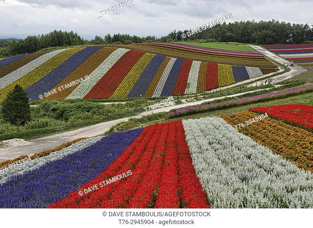 Rainbow fields of silver dust, marigolds, and scarlet sage at the flower fields of Shikisai no Oka, Hokkaido, Japan