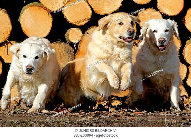 Golden Retriever. Three bitches running in front of a pile of beech wood. Germany