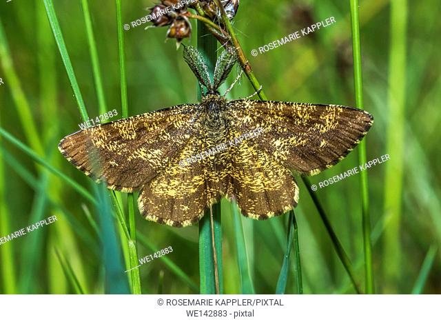 Germany, saarland, homburg - A heather moth is sitting on a grass-stock