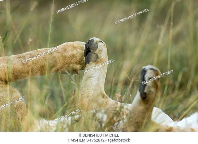 Kenya, Masai-Mara game reserve, lion (Panthera leo), lionceau