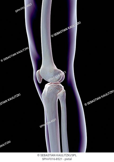 Human knee joint, illustration