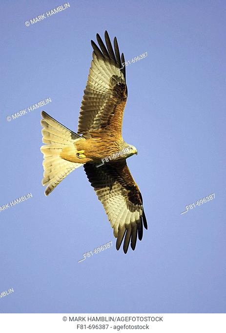 Red kite Milvus milvus adult in flight  Wales  UK  Jabuary 2007