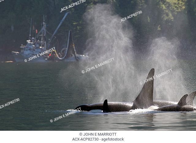 Orca pod and fishing trawler, Johnstone Strait, BC, Canada