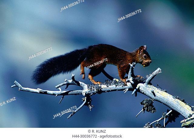 Red Squirrel, Sciurus vulgaris, Sciuridae, rodent, mammal, animal, Zervreila, Vals, Alps, Canton of Graubünden, Switzerland